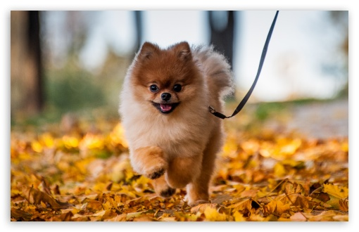 Cute Pomeranian Puppy enjoying a Fall Day UltraHD Wallpaper for Wide 16:10 5:3 Widescreen WHXGA WQXGA WUXGA WXGA WGA ; UltraWide 21:9 ; 8K UHD TV 16:9 Ultra High Definition 2160p 1440p 1080p 900p 720p ; Standard 4:3 5:4 3:2 Fullscreen UXGA XGA SVGA QSXGA SXGA DVGA HVGA HQVGA ( Apple PowerBook G4 iPhone 4 3G 3GS iPod Touch ) ; Smartphone 16:9 3:2 5:3 2160p 1440p 1080p 900p 720p DVGA HVGA HQVGA ( Apple PowerBook G4 iPhone 4 3G 3GS iPod Touch ) WGA ; Tablet 1:1 ; iPad 1/2/Mini ; Mobile 4:3 5:3 3:2 16:9 5:4 - UXGA XGA SVGA WGA DVGA HVGA HQVGA ( Apple PowerBook G4 iPhone 4 3G 3GS iPod Touch ) 2160p 1440p 1080p 900p 720p QSXGA SXGA ;