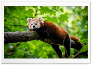 Cute Red Panda HD Wide Wallpaper for Widescreen