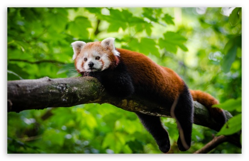 Cute Red Panda HD wallpaper for Wide 16:10 5:3 Widescreen WHXGA WQXGA WUXGA WXGA WGA ; UltraWide 21:9 24:10 ; HD 16:9 High Definition WQHD QWXGA 1080p 900p 720p QHD nHD ; UHD 16:9 WQHD QWXGA 1080p 900p 720p QHD nHD ; Standard 4:3 5:4 3:2 Fullscreen UXGA XGA SVGA QSXGA SXGA DVGA HVGA HQVGA devices ( Apple PowerBook G4 iPhone 4 3G 3GS iPod Touch ) ; Smartphone 16:9 3:2 5:3 WQHD QWXGA 1080p 900p 720p QHD nHD DVGA HVGA HQVGA devices ( Apple PowerBook G4 iPhone 4 3G 3GS iPod Touch ) WGA ; Tablet 1:1 ; iPad 1/2/Mini ; Mobile 4:3 5:3 3:2 16:9 5:4 - UXGA XGA SVGA WGA DVGA HVGA HQVGA devices ( Apple PowerBook G4 iPhone 4 3G 3GS iPod Touch ) WQHD QWXGA 1080p 900p 720p QHD nHD QSXGA SXGA ; Dual 5:4 QSXGA SXGA ;