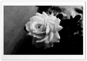 Cute Rose Ultra HD Wallpaper for 4K UHD Widescreen desktop, tablet & smartphone