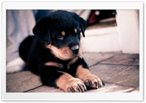 Cute Rottweiler Puppy HD Wide Wallpaper for 4K UHD Widescreen desktop & smartphone