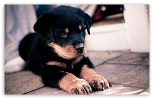 Cute Rottweiler Puppy ❤ 4K UHD Wallpaper for Wide 16:10 5:3 Widescreen WHXGA WQXGA WUXGA WXGA WGA ; 4K UHD 16:9 Ultra High Definition 2160p 1440p 1080p 900p 720p ; Standard 4:3 5:4 3:2 Fullscreen UXGA XGA SVGA QSXGA SXGA DVGA HVGA HQVGA ( Apple PowerBook G4 iPhone 4 3G 3GS iPod Touch ) ; Tablet 1:1 ; iPad 1/2/Mini ; Mobile 4:3 5:3 3:2 16:9 5:4 - UXGA XGA SVGA WGA DVGA HVGA HQVGA ( Apple PowerBook G4 iPhone 4 3G 3GS iPod Touch ) 2160p 1440p 1080p 900p 720p QSXGA SXGA ;