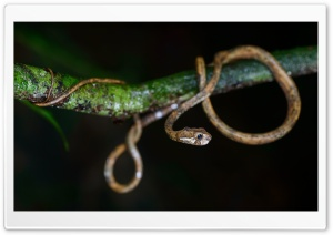 Cute Snake, Aplopeltura Boa, Tree Branch HD Wide Wallpaper for 4K UHD Widescreen desktop & smartphone