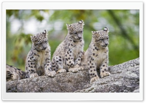 Cute Snow Leopard Cubs Wild Animals Ultra HD Wallpaper for 4K UHD Widescreen desktop, tablet & smartphone