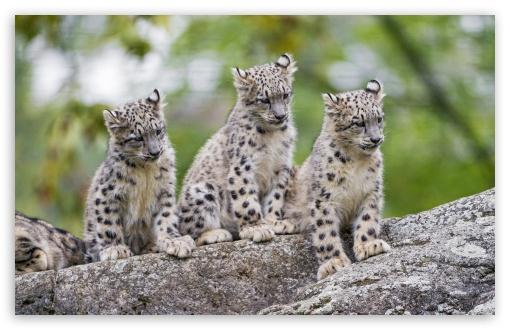 Cute Snow Leopard Cubs Wild Animals UltraHD Wallpaper for Wide 16:10 5:3 Widescreen WHXGA WQXGA WUXGA WXGA WGA ; UltraWide 21:9 24:10 ; 8K UHD TV 16:9 Ultra High Definition 2160p 1440p 1080p 900p 720p ; UHD 16:9 2160p 1440p 1080p 900p 720p ; Standard 4:3 5:4 3:2 Fullscreen UXGA XGA SVGA QSXGA SXGA DVGA HVGA HQVGA ( Apple PowerBook G4 iPhone 4 3G 3GS iPod Touch ) ; Tablet 1:1 ; iPad 1/2/Mini ; Mobile 4:3 5:3 3:2 16:9 5:4 - UXGA XGA SVGA WGA DVGA HVGA HQVGA ( Apple PowerBook G4 iPhone 4 3G 3GS iPod Touch ) 2160p 1440p 1080p 900p 720p QSXGA SXGA ;