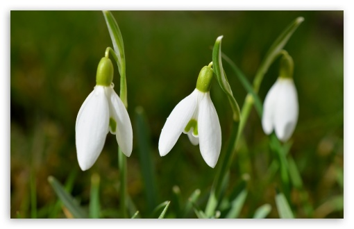 Cute Snowdrops HD wallpaper for Wide 16:10 5:3 Widescreen WHXGA WQXGA WUXGA WXGA WGA ; HD 16:9 High Definition WQHD QWXGA 1080p 900p 720p QHD nHD ; UHD 16:9 WQHD QWXGA 1080p 900p 720p QHD nHD ; Standard 4:3 5:4 3:2 Fullscreen UXGA XGA SVGA QSXGA SXGA DVGA HVGA HQVGA devices ( Apple PowerBook G4 iPhone 4 3G 3GS iPod Touch ) ; Smartphone 5:3 WGA ; Tablet 1:1 ; iPad 1/2/Mini ; Mobile 4:3 5:3 3:2 16:9 5:4 - UXGA XGA SVGA WGA DVGA HVGA HQVGA devices ( Apple PowerBook G4 iPhone 4 3G 3GS iPod Touch ) WQHD QWXGA 1080p 900p 720p QHD nHD QSXGA SXGA ; Dual 16:10 4:3 5:4 WHXGA WQXGA WUXGA WXGA UXGA XGA SVGA QSXGA SXGA ;