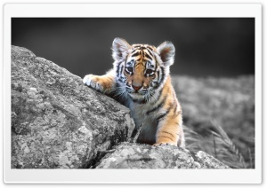 Cute Tiger Cub HD Wide Wallpaper for Widescreen