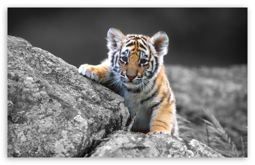Cute Tiger Cub HD wallpaper for Standard 4:3 5:4 Fullscreen UXGA XGA SVGA QSXGA SXGA ; Wide 16:10 5:3 Widescreen WHXGA WQXGA WUXGA WXGA WGA ; HD 16:9 High Definition WQHD QWXGA 1080p 900p 720p QHD nHD ; Other 3:2 DVGA HVGA HQVGA devices ( Apple PowerBook G4 iPhone 4 3G 3GS iPod Touch ) ; Mobile VGA WVGA iPhone iPad PSP Phone - VGA QVGA Smartphone ( PocketPC GPS iPod Zune BlackBerry HTC Samsung LG Nokia Eten Asus ) WVGA WQVGA Smartphone ( HTC Samsung Sony Ericsson LG Vertu MIO ) HVGA Smartphone ( Apple iPhone iPod BlackBerry HTC Samsung Nokia ) Sony PSP Zune HD Zen ; Tablet 2 Android ;