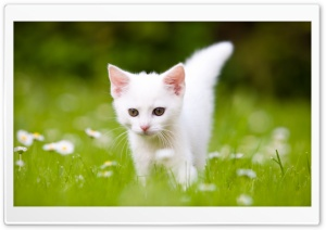 Cute White Kitten HD Wide Wallpaper for Widescreen