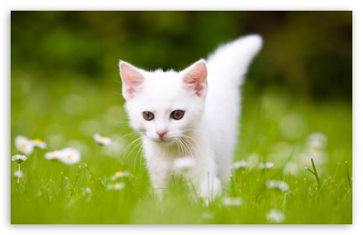 Download Cute White Kitten HD Wallpaper