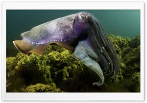 Cuttlefish Under The Sea HD Wide Wallpaper for 4K UHD Widescreen desktop & smartphone