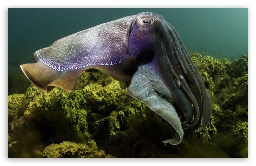 Cuttlefish Under The Sea HD wallpaper for Wide 16:10 5:3 Widescreen WHXGA WQXGA WUXGA WXGA WGA ; HD 16:9 High Definition WQHD QWXGA 1080p 900p 720p QHD nHD ; Standard 4:3 5:4 3:2 Fullscreen UXGA XGA SVGA QSXGA SXGA DVGA HVGA HQVGA devices ( Apple PowerBook G4 iPhone 4 3G 3GS iPod Touch ) ; iPad 1/2/Mini ; Mobile 4:3 5:3 3:2 16:9 5:4 - UXGA XGA SVGA WGA DVGA HVGA HQVGA devices ( Apple PowerBook G4 iPhone 4 3G 3GS iPod Touch ) WQHD QWXGA 1080p 900p 720p QHD nHD QSXGA SXGA ;