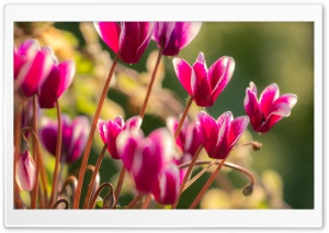 Cyclamen Flowers HD Wide Wallpaper for Widescreen