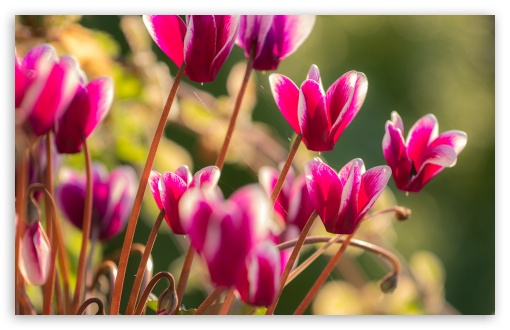 Cyclamen Flowers ❤ 4K UHD Wallpaper for Wide 16:10 5:3 Widescreen WHXGA WQXGA WUXGA WXGA WGA ; 4K UHD 16:9 Ultra High Definition 2160p 1440p 1080p 900p 720p ; Standard 4:3 5:4 3:2 Fullscreen UXGA XGA SVGA QSXGA SXGA DVGA HVGA HQVGA ( Apple PowerBook G4 iPhone 4 3G 3GS iPod Touch ) ; Smartphone 16:9 3:2 5:3 2160p 1440p 1080p 900p 720p DVGA HVGA HQVGA ( Apple PowerBook G4 iPhone 4 3G 3GS iPod Touch ) WGA ; Tablet 1:1 ; iPad 1/2/Mini ; Mobile 4:3 5:3 3:2 16:9 5:4 - UXGA XGA SVGA WGA DVGA HVGA HQVGA ( Apple PowerBook G4 iPhone 4 3G 3GS iPod Touch ) 2160p 1440p 1080p 900p 720p QSXGA SXGA ;