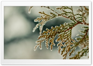 Cypress Branch HD Wide Wallpaper for Widescreen