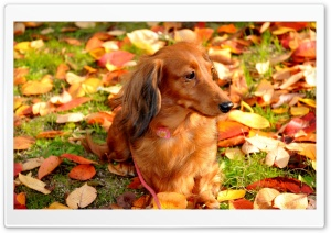 Dachshund HD Wide Wallpaper for Widescreen