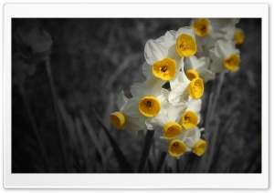Daffodil HD Wide Wallpaper for Widescreen