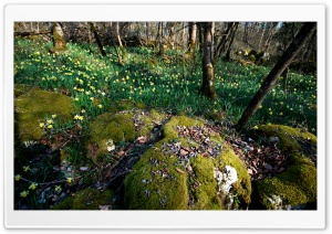 Daffodil And Moss HD Wide Wallpaper for Widescreen