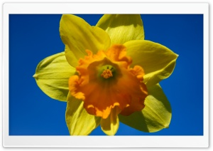 Daffodil Flower HD Wide Wallpaper for 4K UHD Widescreen desktop & smartphone