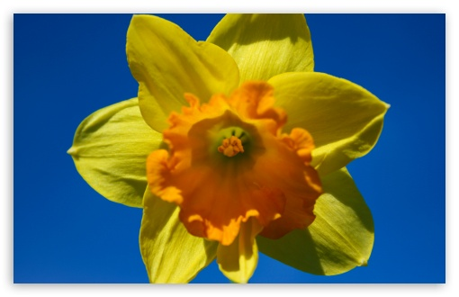 Daffodil Flower HD wallpaper for Wide 16:10 5:3 Widescreen WHXGA WQXGA WUXGA WXGA WGA ; HD 16:9 High Definition WQHD QWXGA 1080p 900p 720p QHD nHD ; UHD 16:9 WQHD QWXGA 1080p 900p 720p QHD nHD ; Standard 4:3 5:4 3:2 Fullscreen UXGA XGA SVGA QSXGA SXGA DVGA HVGA HQVGA devices ( Apple PowerBook G4 iPhone 4 3G 3GS iPod Touch ) ; Tablet 1:1 ; iPad 1/2/Mini ; Mobile 4:3 5:3 3:2 16:9 5:4 - UXGA XGA SVGA WGA DVGA HVGA HQVGA devices ( Apple PowerBook G4 iPhone 4 3G 3GS iPod Touch ) WQHD QWXGA 1080p 900p 720p QHD nHD QSXGA SXGA ;