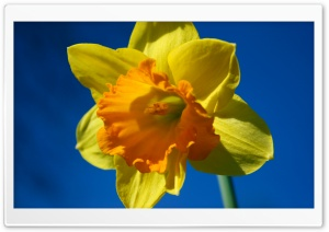 Daffodil Flower Against Blue Sky HD Wide Wallpaper for 4K UHD Widescreen desktop & smartphone