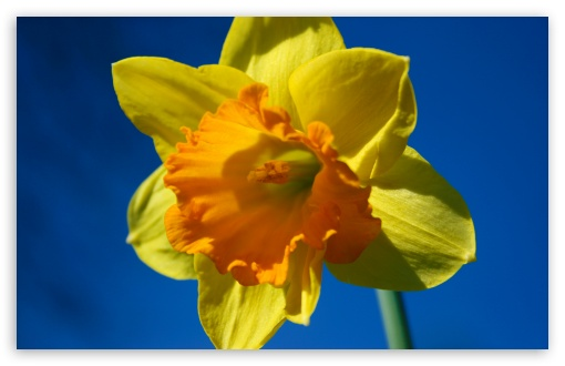 Daffodil Flower Against Blue Sky HD wallpaper for Wide 16:10 5:3 Widescreen WHXGA WQXGA WUXGA WXGA WGA ; HD 16:9 High Definition WQHD QWXGA 1080p 900p 720p QHD nHD ; UHD 16:9 WQHD QWXGA 1080p 900p 720p QHD nHD ; Standard 4:3 5:4 3:2 Fullscreen UXGA XGA SVGA QSXGA SXGA DVGA HVGA HQVGA devices ( Apple PowerBook G4 iPhone 4 3G 3GS iPod Touch ) ; Tablet 1:1 ; iPad 1/2/Mini ; Mobile 4:3 5:3 3:2 16:9 5:4 - UXGA XGA SVGA WGA DVGA HVGA HQVGA devices ( Apple PowerBook G4 iPhone 4 3G 3GS iPod Touch ) WQHD QWXGA 1080p 900p 720p QHD nHD QSXGA SXGA ;