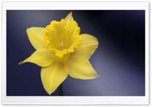 Daffodil Flower Macro HD Wide Wallpaper for 4K UHD Widescreen desktop & smartphone