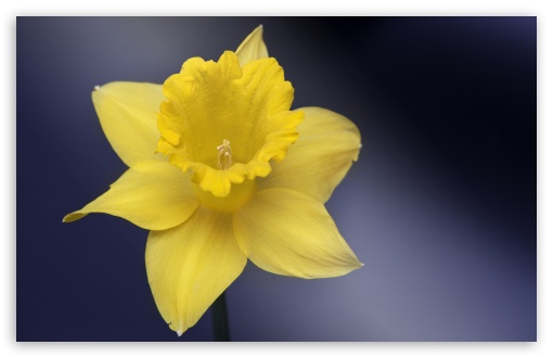 Daffodil Flower Macro ❤ 4K UHD Wallpaper for Wide 16:10 5:3 Widescreen WHXGA WQXGA WUXGA WXGA WGA ; 4K UHD 16:9 Ultra High Definition 2160p 1440p 1080p 900p 720p ; UHD 16:9 2160p 1440p 1080p 900p 720p ; Standard 4:3 5:4 3:2 Fullscreen UXGA XGA SVGA QSXGA SXGA DVGA HVGA HQVGA ( Apple PowerBook G4 iPhone 4 3G 3GS iPod Touch ) ; Smartphone 5:3 WGA ; Tablet 1:1 ; iPad 1/2/Mini ; Mobile 4:3 5:3 3:2 16:9 5:4 - UXGA XGA SVGA WGA DVGA HVGA HQVGA ( Apple PowerBook G4 iPhone 4 3G 3GS iPod Touch ) 2160p 1440p 1080p 900p 720p QSXGA SXGA ; Dual 16:10 5:3 16:9 4:3 5:4 WHXGA WQXGA WUXGA WXGA WGA 2160p 1440p 1080p 900p 720p UXGA XGA SVGA QSXGA SXGA ;