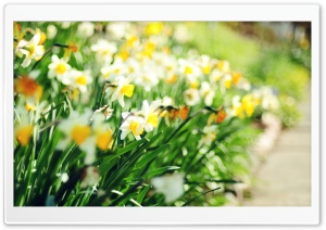 Daffodil Lane HD Wide Wallpaper for Widescreen