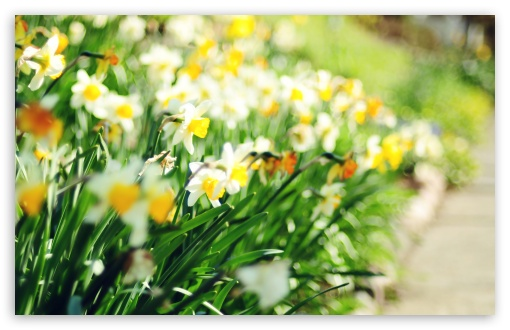 Daffodil Lane HD wallpaper for Standard 4:3 5:4 Fullscreen UXGA XGA SVGA QSXGA SXGA ; Wide 16:10 5:3 Widescreen WHXGA WQXGA WUXGA WXGA WGA ; HD 16:9 High Definition WQHD QWXGA 1080p 900p 720p QHD nHD ; Other 3:2 DVGA HVGA HQVGA devices ( Apple PowerBook G4 iPhone 4 3G 3GS iPod Touch ) ; Mobile VGA WVGA iPhone iPad PSP Phone - VGA QVGA Smartphone ( PocketPC GPS iPod Zune BlackBerry HTC Samsung LG Nokia Eten Asus ) WVGA WQVGA Smartphone ( HTC Samsung Sony Ericsson LG Vertu MIO ) HVGA Smartphone ( Apple iPhone iPod BlackBerry HTC Samsung Nokia ) Sony PSP Zune HD Zen ; Tablet 2 Android ;