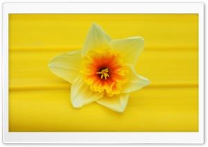 Daffodil Macro HD Wide Wallpaper for Widescreen