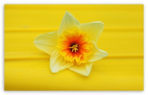 Daffodil Macro HD wallpaper for Wide 16:10 5:3 Widescreen WHXGA WQXGA WUXGA WXGA WGA ; HD 16:9 High Definition WQHD QWXGA 1080p 900p 720p QHD nHD ; UHD 16:9 WQHD QWXGA 1080p 900p 720p QHD nHD ; Standard 4:3 5:4 3:2 Fullscreen UXGA XGA SVGA QSXGA SXGA DVGA HVGA HQVGA devices ( Apple PowerBook G4 iPhone 4 3G 3GS iPod Touch ) ; Tablet 1:1 ; iPad 1/2/Mini ; Mobile 4:3 5:3 3:2 16:9 5:4 - UXGA XGA SVGA WGA DVGA HVGA HQVGA devices ( Apple PowerBook G4 iPhone 4 3G 3GS iPod Touch ) WQHD QWXGA 1080p 900p 720p QHD nHD QSXGA SXGA ;