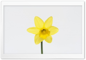 Daffodil Spring Flower HD Wide Wallpaper for Widescreen