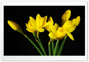 Daffodils HD Wide Wallpaper for 4K UHD Widescreen desktop & smartphone