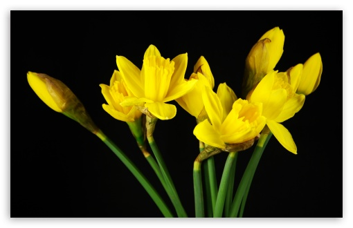 Daffodils HD wallpaper for Wide 16:10 5:3 Widescreen WHXGA WQXGA WUXGA WXGA WGA ; HD 16:9 High Definition WQHD QWXGA 1080p 900p 720p QHD nHD ; UHD 16:9 WQHD QWXGA 1080p 900p 720p QHD nHD ; Standard 3:2 Fullscreen DVGA HVGA HQVGA devices ( Apple PowerBook G4 iPhone 4 3G 3GS iPod Touch ) ; Mobile 5:3 3:2 16:9 - WGA DVGA HVGA HQVGA devices ( Apple PowerBook G4 iPhone 4 3G 3GS iPod Touch ) WQHD QWXGA 1080p 900p 720p QHD nHD ;