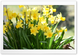 Daffodils HD Wide Wallpaper for Widescreen