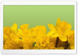Daffodils Ultra HD Wallpaper for 4K UHD Widescreen desktop, tablet & smartphone