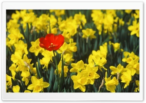 Daffodils And Red Tulip HD Wide Wallpaper for Widescreen