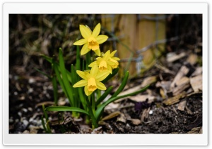 Daffodils Blooming HD Wide Wallpaper for Widescreen