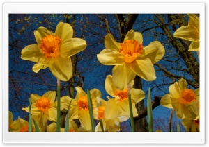 Daffodils Exhibition HD Wide Wallpaper for 4K UHD Widescreen desktop & smartphone