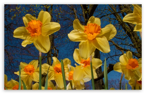 Daffodils Exhibition HD wallpaper for Wide 16:10 5:3 Widescreen WHXGA WQXGA WUXGA WXGA WGA ; HD 16:9 High Definition WQHD QWXGA 1080p 900p 720p QHD nHD ; UHD 16:9 WQHD QWXGA 1080p 900p 720p QHD nHD ; Standard 4:3 5:4 3:2 Fullscreen UXGA XGA SVGA QSXGA SXGA DVGA HVGA HQVGA devices ( Apple PowerBook G4 iPhone 4 3G 3GS iPod Touch ) ; Tablet 1:1 ; iPad 1/2/Mini ; Mobile 4:3 5:3 3:2 16:9 5:4 - UXGA XGA SVGA WGA DVGA HVGA HQVGA devices ( Apple PowerBook G4 iPhone 4 3G 3GS iPod Touch ) WQHD QWXGA 1080p 900p 720p QHD nHD QSXGA SXGA ;
