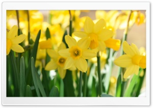 Daffodils Field HD Wide Wallpaper for 4K UHD Widescreen desktop & smartphone