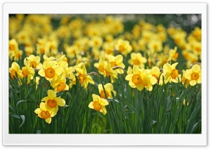 Daffodils Flowers HD Wide Wallpaper for 4K UHD Widescreen desktop & smartphone