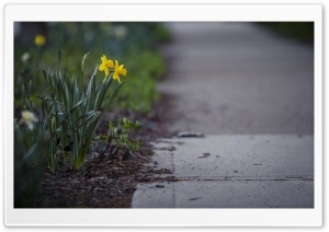 Daffodils Flowers, City HD Wide Wallpaper for Widescreen