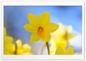 Daffodils In Spring HD Wide Wallpaper for 4K UHD Widescreen desktop & smartphone