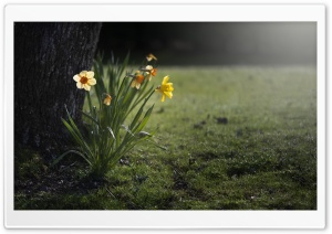 Daffodils Night HD Wide Wallpaper for 4K UHD Widescreen desktop & smartphone