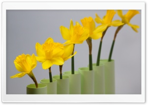 Daffodils Row HD Wide Wallpaper for Widescreen
