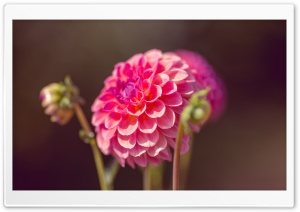 Dahlia HD Wide Wallpaper for Widescreen
