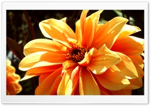 Dahlia HD Wide Wallpaper for 4K UHD Widescreen desktop & smartphone