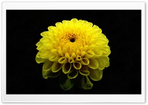 Dahlia Flower HD Wide Wallpaper for Widescreen